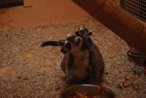zoo-montpellier-lemurien.jpg