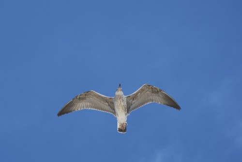Une mouette s'invite au meeting aérien @ Palavas-les-Flots (2011)